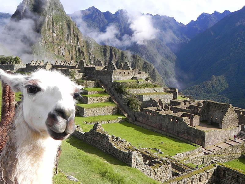 Lhama em Machu Picchu