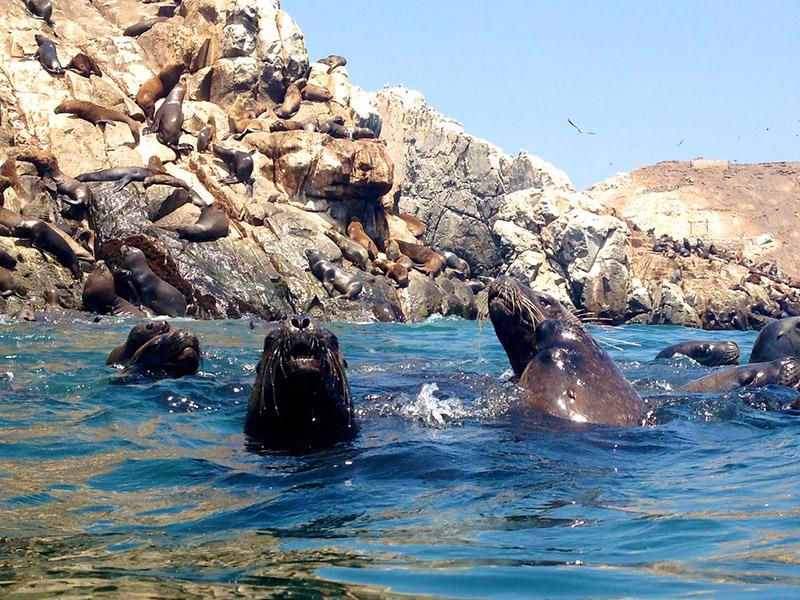 Leões-marinhos na Ilhas Palomino em Lima