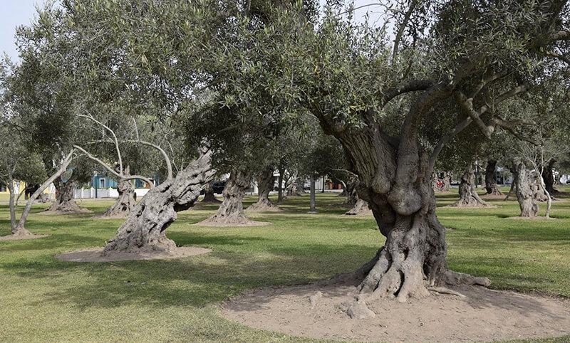 Oliveiras do Parque el Olivar em Lima